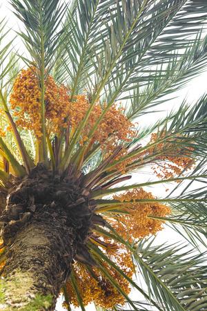 kimri: Dates on a palm tree