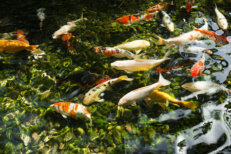 freshwater fish: A freshwater fish of the carp.
