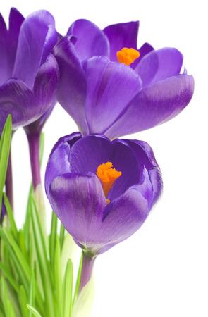 flores moradas: Flor Crocus en la primavera aislada en blanco