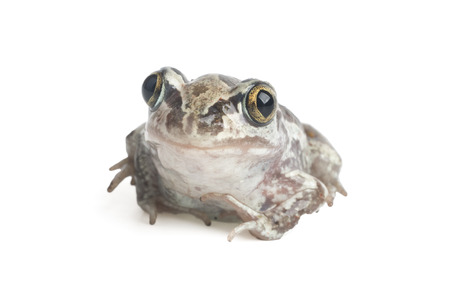 wetness: Close-up of a toad on a white background
