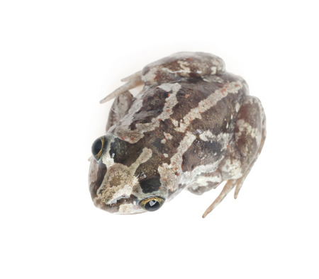 anuran: Close-up of a toad on a white background