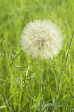 fragile peace: The dandelion spherical white seeds Stock Photo