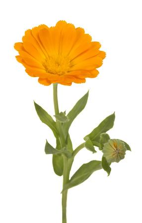 Calendula marigold flowers with leaves isolated on white stock marigold flowers with leaves isolated on white stock photo 60821798 mightylinksfo