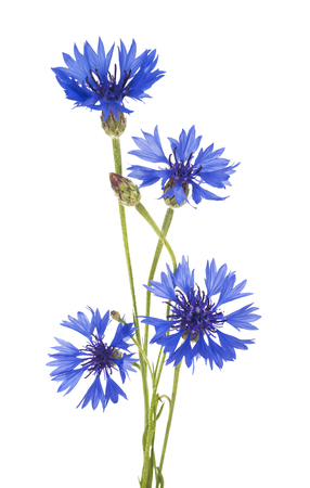 コーンフラワー。野生の青花の花束。分離されました。