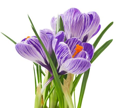 Beautiful crocus on white background fresh spring flowers stock beautiful crocus on white background fresh spring flowers violet crocus flowers bouquet mightylinksfo