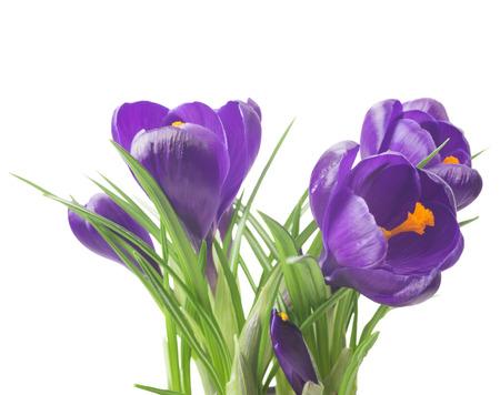 beautiful crocus on white background - fresh spring flowers. Violet crocus flowers bouquet. (Selective focus) Stock Photo