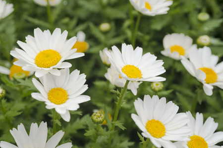 Beautiful white daisy flower background. Bright chamomiles, camomiles meadow. Summer in the garden. Selective focus Stock Photo