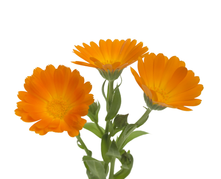 pot marigold: Flowers with leaves Calendula (Calendula officinalis, pot marigold, garden marigold, English marigold) on a white background with space for text. Medicinal herb. Selective focus Stock Photo