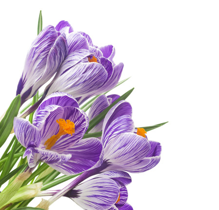 close up of beautiful crocus on white background - fresh spring flowers. Violet crocus flowers bouquet. (Selective focus)