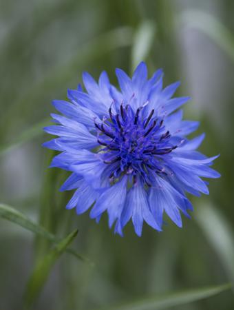 Beautiful wildflowers cornflowers. selective focus