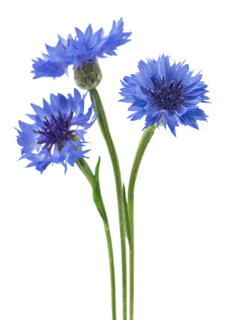 Three blue flowers of a cornflower, isolated on a white background. Selective focus Foto de archivo