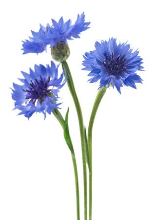 Drei blaue Blumen einer Kornblume, lokalisiert auf einem weißen Hintergrund. Selektiver Fokus Standard-Bild