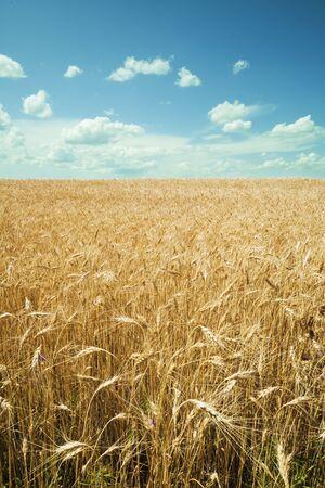 Tarweveld tegen een blauwe hemel. Oogst en voedselconcept. Stockfoto