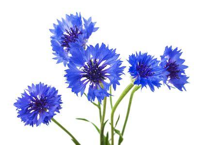 Strauß der blauen Kornblumen lokalisiert auf weißem Hintergrund. Selektiver Fokus