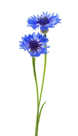 Two blue flowers of cornflower isolated on a white background. Selective focus