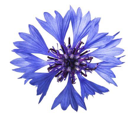 cornflower flower isolated on white background Standard-Bild
