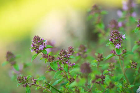 Thymus - healing herb and condiment growing in nature. Selective focus