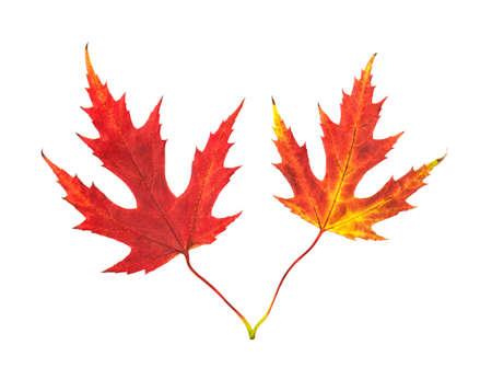 autumn maple leaves on white background Standard-Bild