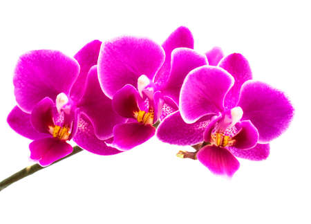 Pink streaked orchid flower, isolated Standard-Bild