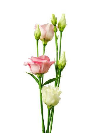 Beautiful eustoma flower isolated on white Standard-Bild