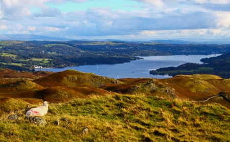 A Sheep overlooking Windermere Lake in the Lake District