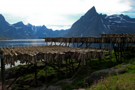 Drying Stock Fish - Traditional way of drying stock fish on Lofoten islands in Norway Stock Photo
