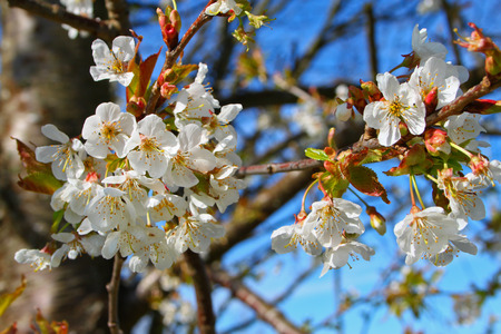 Blooming tree in spring garden close up