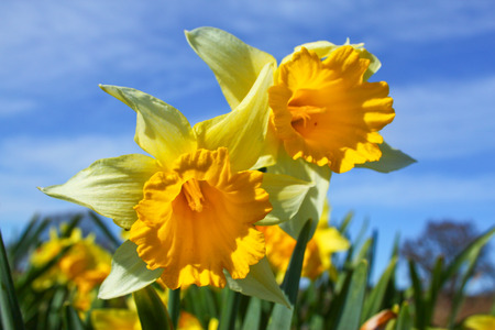 Yellow daffodil flower in the field close up Stock Photo
