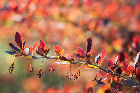 Branch of barberry early spring with unblown flowers.