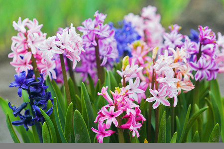 Multicolored hyacinths grow in the garden.