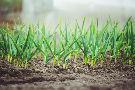 Ajo verde fresco que crece en el jard�n.