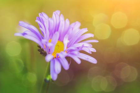 blue daisy: Close-up blue daisy.