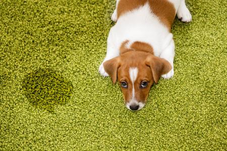 子犬ジャック ラッセル テリアと有罪を見上げると、カーペットの上に横たわる。 写真素材 - 56486836