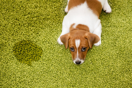 pee: Puppy Jack russell terrier lying on a carpet and  looking up guilty.