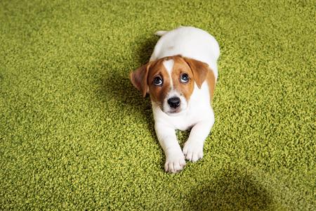 子犬ジャック ラッセル テリアと有罪を見上げると、カーペットの上に横たわる。