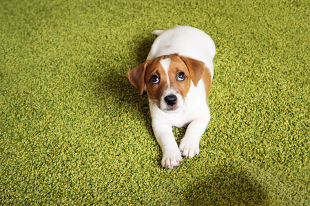 house trained: Puppy Jack russell terrier lying on a carpet and  looking up guilty.