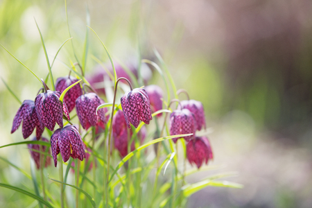 Early spring flower background (Fritillaria meleagris).