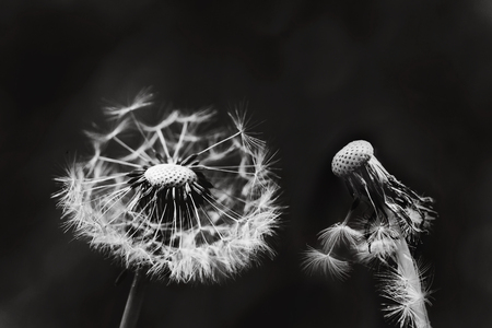 conservation: Two white dandelions on black background.