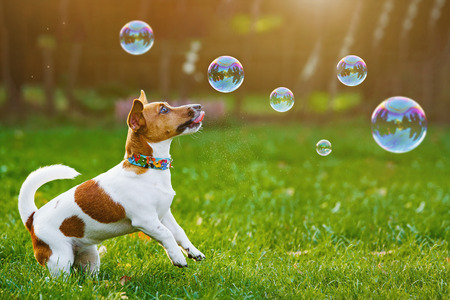 Puppy jack russell playing with soap bubbles in summer outdoor. Stock Photo