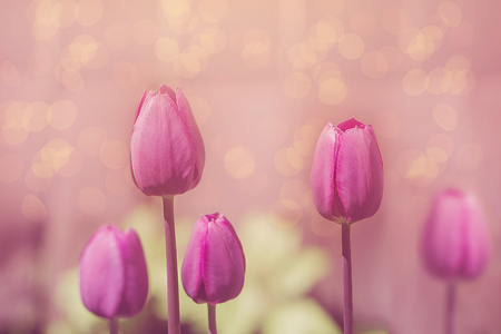 Tulips flowers in early morning garden. Toned instagram filter. Stock Photo