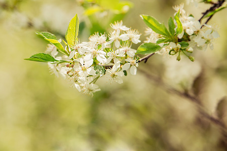 Blooming cherry tree. Selective focus. Stock Photo