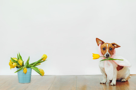 Cute dog with bunny ears hold in his teeth tulip flower on light background. Place Your text. Stock Photo