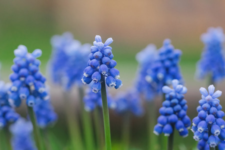 Muscari flowers with spring background. Selective soft focus.