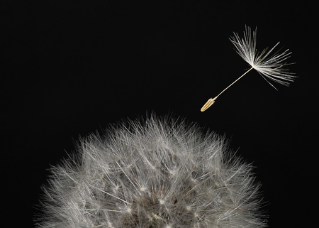 Macro dandelion head and flying seeds on black background.