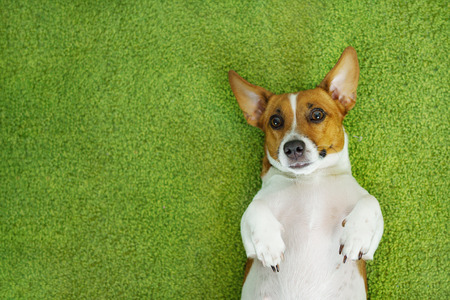 Jack russell terrier lying on a green carpet. Stock Photo