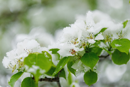 Spring blooming branch under the snow. Stock Photo - 82066783