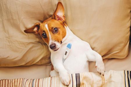 Kranker Hund unter Decke mit Fieber und Temperatur. Standard-Bild - 83799941