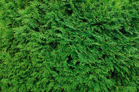 Groene Thuja laat achtergrond, winter boom en kerstboom concept.