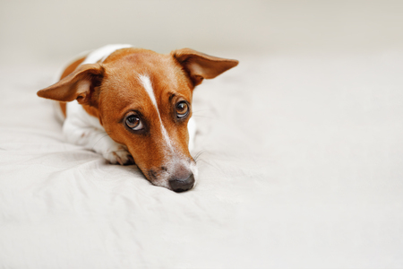 Sad jack russell dog lying on bed.
