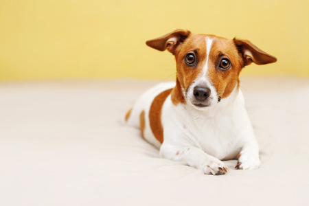 couch: Cute jack russell dog lying on bed and looking in camera.